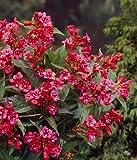 Dominik Blumen und Pflanzen, Weigelie