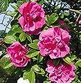 """Rosa rugosa """"Hansa"""" von Agel Rosen auf Du und dein Garten"""