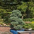 Silberzypresse Boulevard von Meingartenshop - Du und dein Garten