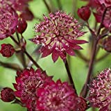 lichtnelke - Große Sterndolde (Astrantia major) Star of Love