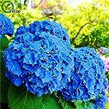 Semi Ortensia Misto di semi di fiori di ortensia giardino della casa di piante Bonsai Viburnum 30pcs H022 4