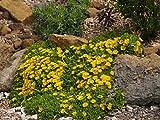 "Kakteengarten winterharte Mittagsblume/Delosperma nubigenum ""Lesotho"""" im 9cm Topf"