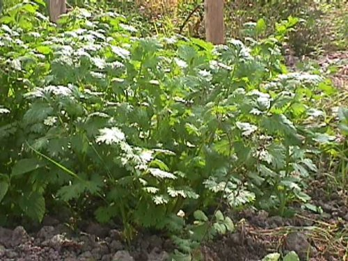 premier-seeds-direct-hrb13-herb-coriander-seeds-for-germinating-pack-of-1500