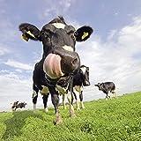 Artland Qualitätsbilder I Poster Kunstdruck Bilder 60 x 60 cm Tiere Haustiere Kuh Foto Blau D1IY Holstein-Kuh mit gewaltiger Zunge