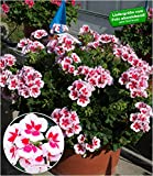 BALDUR-Garten Stehende Geranie'Smokey Eye White®', 3 Pflanzen Pelargonien