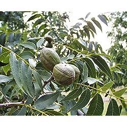 Pekannuss Carya illinoinensis Pflanze 20cm Hickory Pecannussbaum sehr selten