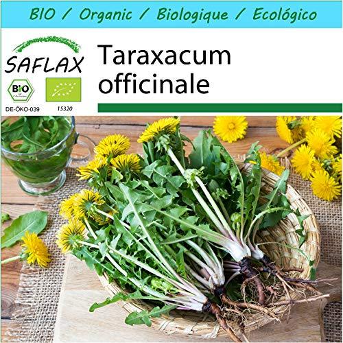 SAFLAX - Kit cadeau - BIO - Pissenlit - 400 graines - Avec boîte cadeau/d'expédition, autocollant d'expédition, carte cadeau et substrat de culture - Taraxacum officinale