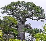 Adansonia digitata afrikanischer Affenbrotbaum Baobab Pflanze 10cm sehr selten