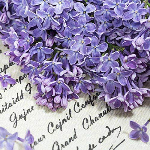Portal Cool Veilchen Samen Matthiola Incana Seeds Mehrjährige Blumensamen Hausgarten Rr6