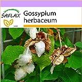 SAFLAX - Cotone asiatico - 12 semi - Gossypium herbaceum