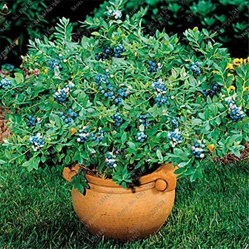 agrobits 50pcs piante rare blu bonsai albero da frutto highbush mirtilli fai da te countyard per giardino facile da coltivare per la decorazione di inverno: nero