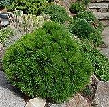 Schlangenhautkiefer Nadebaum - Pinus heldreichii Compact Gem - 40-50cm im 3 Ltr. Topf
