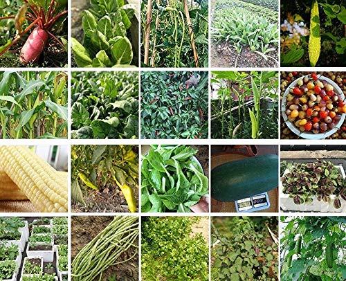 Shoopy Star épinards de vigne rouge 100 graines: emballage de vente au détail coloré économique NON OGM image Jardin Jardin Graines de légumes