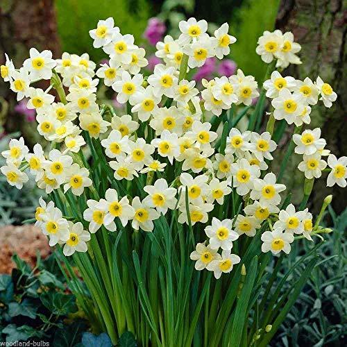 portal cool 25 narcisi bulbi di narciso 'ciprinidi' primavera in fiore narcisi bulbi piante