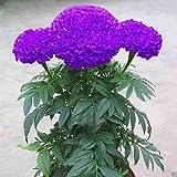 Catterpillar Farm Purple Blue Marigold 35 Seeds,Exotic Flower Seeds
