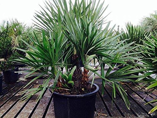 RARITÄT Rhapidophyllum hystrix Größe 100-120 cm. Eine der frosthärtesten Palmen der Welt bis -25 Grad