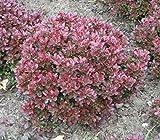Berberis thunbergii Bagatelle 15-20 Zwergkugel-Berberitze