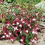Winterharte Fuchsie Alice Hoffmann, 4 Pflanzen