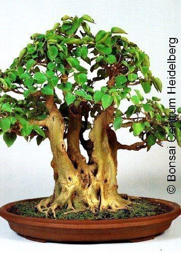Tropica - bonsaï - arbre de Bodhi (Ficus religiosa) - 200 graines