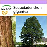 SAFLAX - Árbol mamut - 50 semillas - Sequoiadendron gigantea