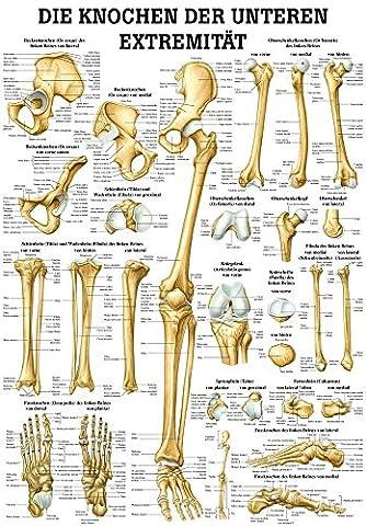 Poster Anatomie - Les os du membre inférieur mini poster