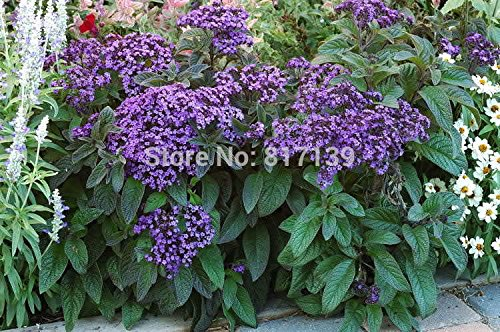 Nouveau Nouveau jardin des plantes 20 Graines Heliotrope Heliotropium arborescens supplémentaires Dwarf Graines Fleur Marine