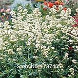 Shopmeeko SEEDS: Tatsächlicher 20pcs / lot Baldrian (Valeriana officinalis) Bonsai-Pflanze DIY Hausgarten geben Verschiffen frei