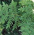 Purpur Königsfarn - Osmunda regalis Purpurascens von Baumschule auf Du und dein Garten
