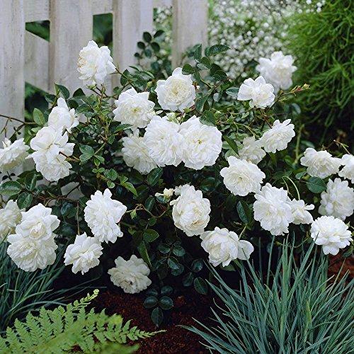 fairy rosen Fairy Rosen weiss - 3 pflanzen