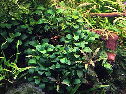 Dennerle Anubias Nana Bonsai - Live Aquarium Plant - EU Grown & Shrimp Safe 4