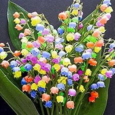Yukio Samenhhaus - 100 Stück duftend Raritäten Maiglöckchen Blumenzwiebeln Multifarben winterhart mehrjährig