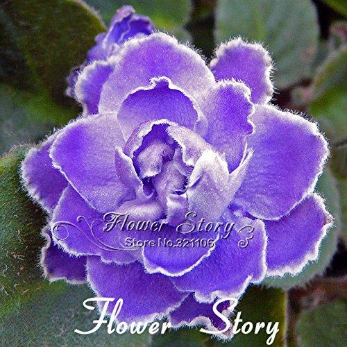 el-envio-libre-100-semillas-del-pensamiento-semillas-violeta-azul-del-pensamiento-africano-tan-lindo
