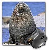 Danita Delimont - Seals - Kerguelen and Antarctic Fur Seal, South Georgia - AN01 MZW0033 - Martin Zwick - MousePad (mp_132239_1)