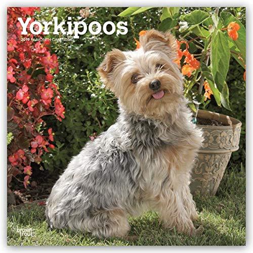 Yorkipoos - Yorkie Poos 2019 - 18-Monatskalender mit freier DogDays-App (Wall-Kalender) -