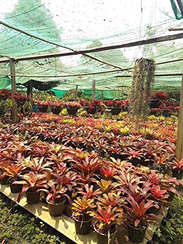 PLAT FIRM GERMINATIONSAMEN: 1 Großes Rhizom Lebende Pflanze Bromelie Aechmea fasciata Urnenpflanze BROMELIACEAE