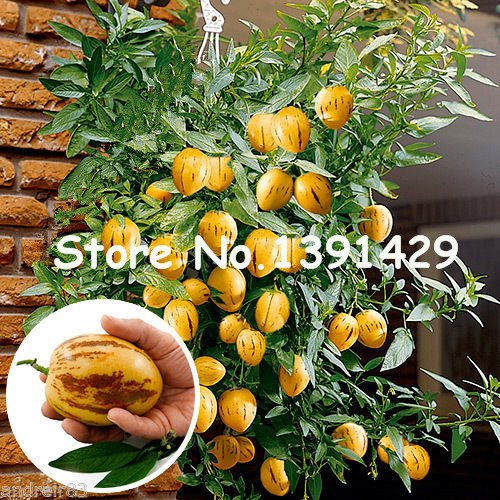 150pcs / bag semillas raras melón berenjena, flor de la planta en maceta, árboles frutales jardín, sur de Estados Unidos, Bonsai fruta dulce