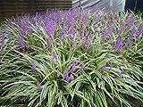Scimmia Erba 10 Semi - Liriope Muscari - Erba ornamentale Seeds - ombra perenne!