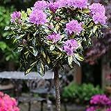 Amazon.de Pflanzenservice Rhododendron-Stamm lila blühend, 1 Pflanze, ca. 20 cm Krone, 60 cm...