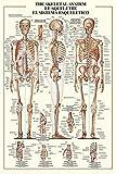 empireposter - Educational - Bildung - The Skeletal System - Größe (cm), ca. 61x91,5 - Poster, NEU - Text auf englisch, französisch, spanisch