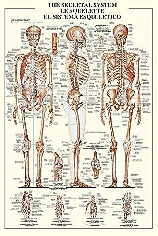 Poster Anatomie - Empire merchandising 688071 empire, de la formation