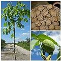 Walnussbaum als Sämling, besonders kräftig und robust, 150-170 cm, 10 Liter Topf von Grüner Garten Shop - Du und dein Garten