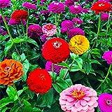 Virtue 1000pcs mixte Zinnia bonsaïs Seedss jolies couleurs pastel fleur bonsaï plante pour jardin à domicile: 100mix