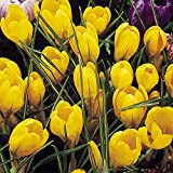 "20 x vibrantes bulbos de Azafrán 'Yellow Mammoth' (""mamut amarillo"") [20 x Vibrant Crocus 'Yellow Mammoth' bulbs]"