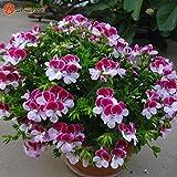 Balcone in vaso bianco e rosso Gerani Sementi di fiori Piante in vaso giardino domestico di DIY 20 Pezzi/Lotto