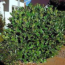 5 Stück Kirschlorbeer Rotundifolia Heckenpflanze Prunus im Container 30-40 cm