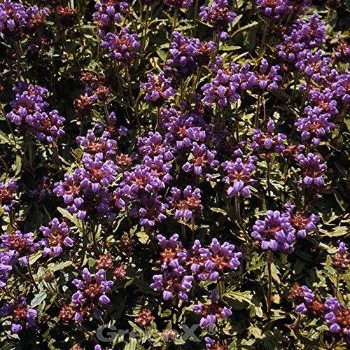 Großblütige Braunelle Bella Rose - Prunella grandiflora