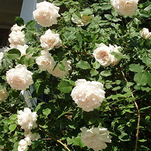 Madame Alfred Carrier, rosa rampicante antica Rose Barni, di gran pregio, vigorosa, rifiorente, fiori grandi doppi a rosetta bianchi, leggermente rosati, profumo intenso. h. fino 5 metri, cod.14035