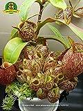 Essen Mosquito Fleischfressende Pflanzen Nepenthes Samen 200pcs / bag Tropische Kannenpflanze Fang Insekt Garten Bonsai Topf Easy Grow