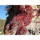 100pcs Ivy semillas, plantas trepadoras rojos, hogar y jardín planta roca crecimiento, el envío libre