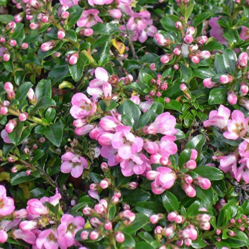 Portal Cool Escallonia n Apple Blossom Evergreen St Rosa n kaufen 3 Get Free P & P Rosa Apple Blossom